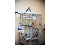 Timed and talking, Healthy and High Quality Budgie including Cage and Accessories