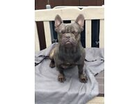 Beuitful chocolate French bulldog for sale