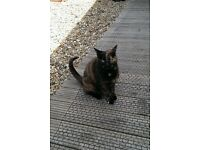 Beautiful tortishell female cat in need of loving home