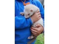 Beautiful baby ferret for sale