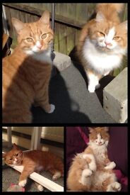 2 ginger cats