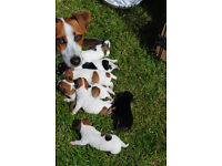 Jack Russell puppies very small type