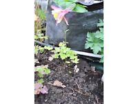 Aquilegia 'Mrs Scott Elliot' hybrid, perfect for cottage garden borders and woodland planting