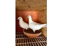 Pair of white pigeons