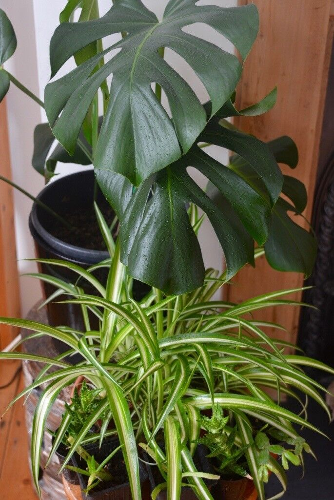 HOUSE PLANTS FOR SALE from £1.00 each | in Brighton, East ... on peppermint tree plant, cycad plant, reed plant, foxfire plant, gazania plant, no light indoor plant, lotus plant, google plant, hickory plant, garland plant, amazon plant, miracle fruit plant, king plant, arcadia plant, violet flower plant, eagle plant, yucca plant, ebay plant, mulberry plant, fig plant,