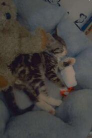 tabby brown male kitten *URGENT SALE*
