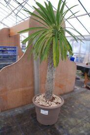 Cactus plant Colonnari
