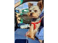 Yorkshire terrier FCI puppy