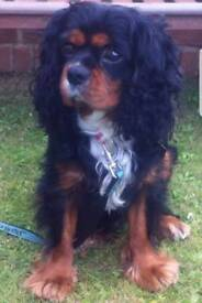 Black and Tan Cavilier King Charles Spaniel