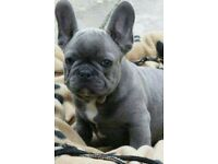 French bulldog puppys