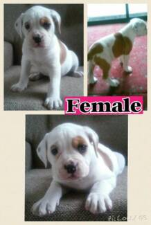 American Bulldog Pups Beckenham Gosnells Area Preview