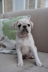 Stunning KC pug puppies *ready now*