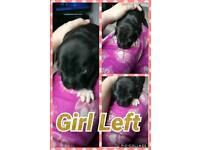Staff puppy's girl