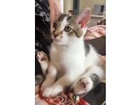 Big Boy Kitten