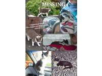 Grey and white female cat missing
