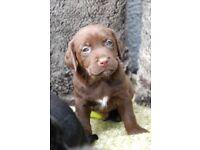 Labrador puppies only 2 boys & 1 girl left