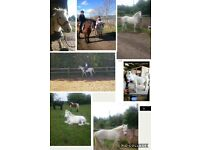 Stunning white pony for sale