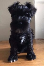 3 Miniature Schnauzer Puppies for sale