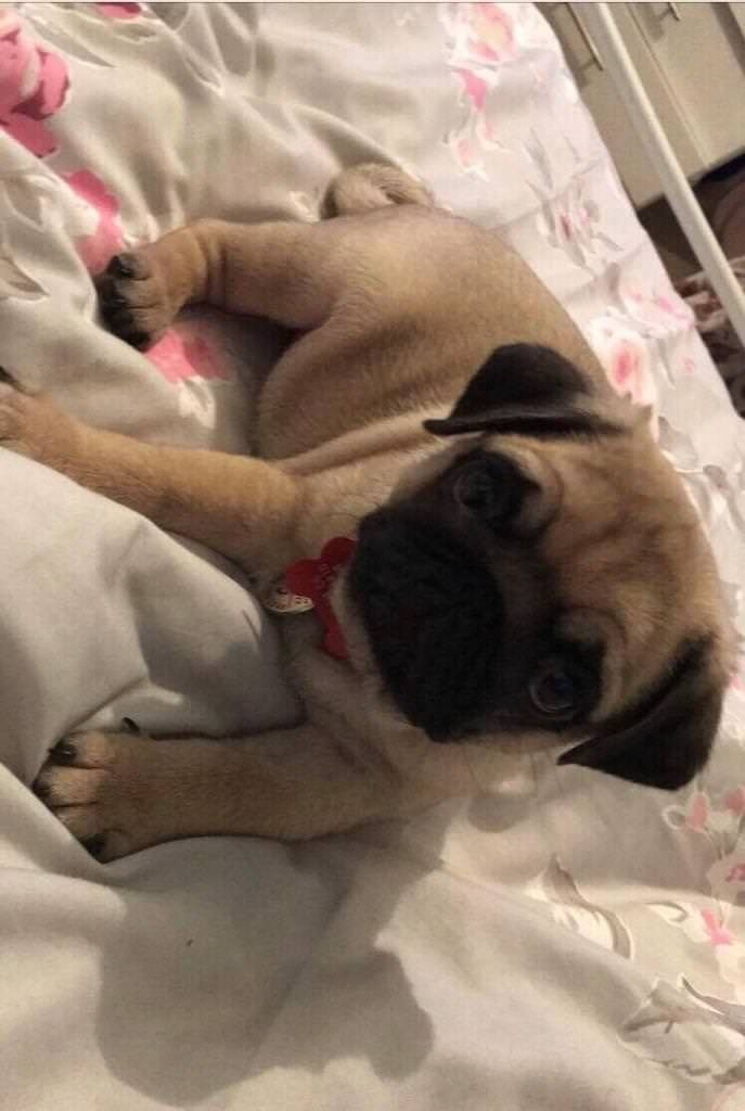 Stunning Boy Pug Puppy Now Ready For Rehoming In Rogerstone