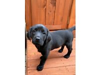 Two female black Labrador puppies kc registered