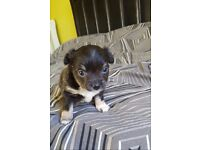 ADORABLE Full Chihuahua puppies for SALE £500