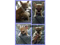 Male T'Cup Chihuahua Puppie
