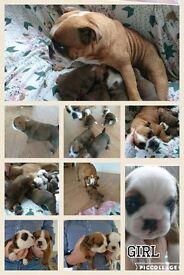 Bulldog Puppies for sale,