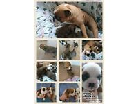Bulldog Puppies for sale,
