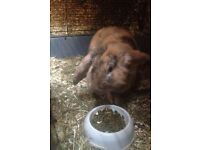 Male Brown Rabbit for Sale