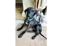 Jack x poodle Boy Puppy