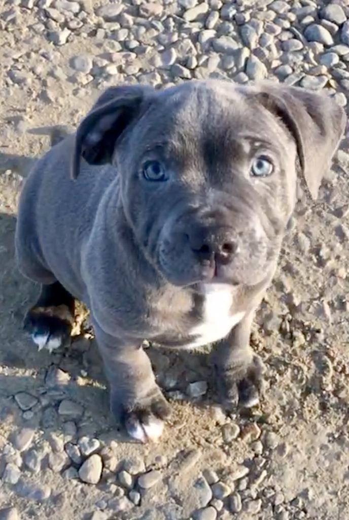 Boy Blue Staffordshire Bull Puppy In Ellon