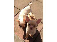 Chihuahua KC REG female puppy ready now