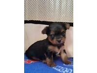 Mini Yorkshire Terrier puppys for sale