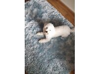 Bichon Frise puppy for sale.