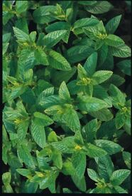 Spearmint Herb plants growing in a 7cm. Pot Full of Flavour from 50p each