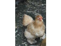 Buff peking bantam