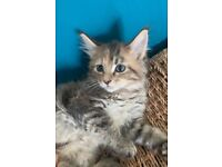 pedigree Maine Coon kittens READY NOW