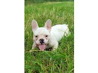 French bulldog ( reduced price)