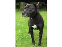 Cross between staffy and lab, free to good home, good with other dogs. Housetrained.