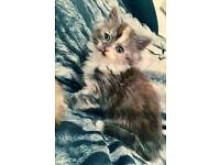Cross pedigree kittens various price