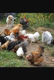 8x female chickens