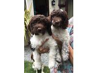 2 Beautiful Springer X Cockapoo Female Puppies
