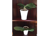 2 Small Orchids in Simple White Pots
