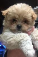 Pomeranian ,Maltese ,mini poodle cross puppies