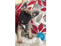 French Bulldog Puppies Fawn Kc Reg READY NOW