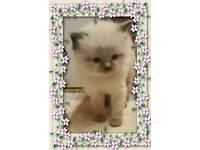 Ragdoll kittens for sale READY in 2 weeks