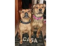 2 x loving dogs need new home