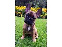 French Bulldog male PUPPY - lovely built, very healthy, very affectionate - extremely friendly