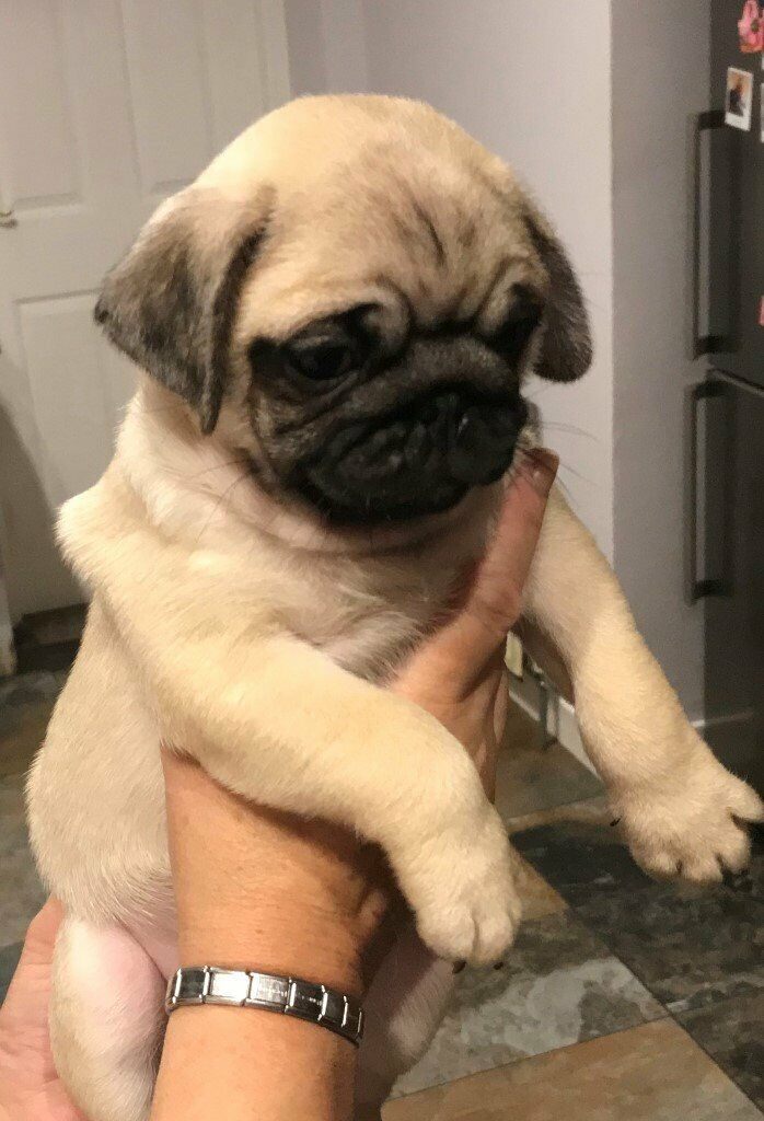 Beautiful Pug Puppies For Sale | in East End, Glasgow | Gumtree