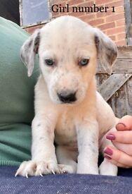 Collie X Dalmatian puppies